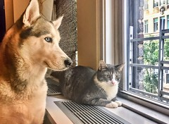Pals chilling by the window (dannydalypix) Tags: peaceandharmony peaceandlove peace love pals dog husky siberianhusky cat
