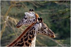 Twin Giants (MAC's Wild Pixels) Tags: giraffe giraffacamelopardalistippelskirchi maasaigiraffe tallgiant giant herbivore endangered endangeredspecies wildlife africanwildlife animal wildafrica wildanimal outdoors outofafrica nairobinationalpark nairobi kenya macswildpixels coth5 ngc sunrays5