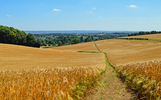 Path through the barley, Upper Winchendon, Buckinghamshire, England