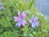 326 (en-ri) Tags: fiorellini little flowers lilla verde erba grass sony sonysti