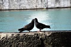 Pigeons 14.07 (1) (tabbynera) Tags: pigeons
