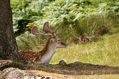 Bradgate Fallow Deer in the shade. (ianderry64) Tags: beautiful resting cooling daytime day hot light sunny shade sunshine bracken fern grass park animal wildlife mammal calf cert deer fallow