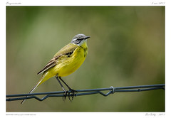 Bergeronnette | Western yellow wagtail (BerColly) Tags: france auvergne puydedome oiseau bird bergeronnetteprintaniere westernyellowwagtail jaune yellow bokeh portrait bercolly google flickr