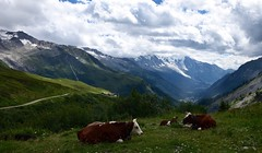 14 Juillet - repos et en famille!! Bastille day - holiday & family! (CHAM BT) Tags: vache alpe montagne glacier herbe vent veau alpage vallee chamonix balme cloche cow alpes mountain grass green wind veal valley bell sieste repos rest