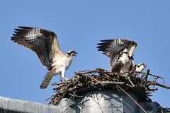127 (GJSmith Photography) Tags: osprey gjsmith birds nikon d750 200m 500m clutch nest birding 500mm uper telephoto