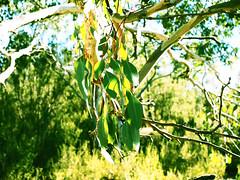 Bushaliciousness (Rantz) Tags: australia australiancapitalterritory canberra dikaiosyne green myoz rantz lyneham au