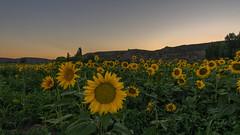 Tiempo de girasoles. (Amparo Hervella) Tags: tielmes comunidaddemadrid españa spain flor naturaleza paisaje atardecer d7000 nikon nikond7000 comunidadespañola
