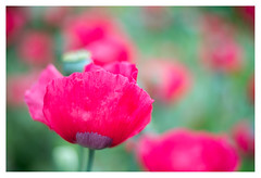 Poppy field (leo.roos) Tags: poppy papaver klaproos red rood a7rii helios81532automat гелиос81253автомат refitfordigital mountswap m42 kiev10 kiev15 arsenal russianlenses sovietglass darosa leoroos