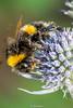 BuffTailedBumbleBee-0007.jpg (vorneo) Tags: bumblebee classinsecta kingdomanimalia bufftailedbumblebee orderhymenoptera wild familyapidae genusbombus phylumarthropoda insect speciesbterrestris subgenusbombus binomialnamebombusterrestris