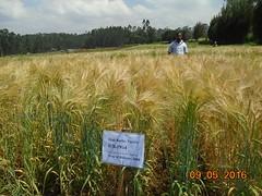 Ethiopia (ICARDA-Science for Better Livelihoods in Dry Areas) Tags: ethiopia africa smallholder livelihoods icarda