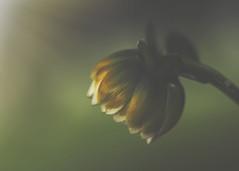doing penance (rockinmonique) Tags: flower bloom blossom petal macro light bokeh textures moniquew canon canont6s tamron copyright2017moniquew chrissyard vancouver juneflickrgalsmeetup