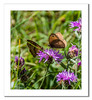 A pair of Meadow Brown Butterflies on a flower (Travels with a dog and a Camera :)) Tags: lightroom cc england dog walking meadow brown butterfly pentax k30 perched photoshop 2015 plants wapley summer 2017 plant flower justpentax maniola jurtina bushes nature reserve july art south west tamron af 18200mm f3563 xr di ii ld asperical if macro uk digital dogwalking lightroomcc maniolajurtina meadowbrownbutterfly pentaxart pentaxk30 photoshopcc2015 southwest tamronaf18200mmf3563xrdiiildaspericalifmacro wapleybushesnaturereserve westerleigh unitedkingdom gb