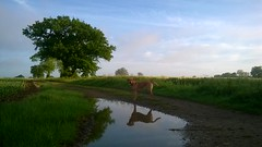 Out with running partner, we've just reached the top of the valley...Wilson ahead of me, waiting patiently...as usual! (Jo. Jo.) Tags: sky tree dog red fox labrador arable land countryside retriever summer early morning east anglia england horizon farmland reflection puddle clouds