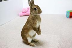 Ichigo san 790 (Ichigo Miyama) Tags: いちごさん。うさぎ ichigo san rabbitbunny netherlanddwarf brown ネザーランドドワーフ ペット いちご うさぎ rabbit