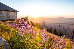 first light on Cloud Cap (Ben McLeod) Tags: cloudcap cloudcapinn mthood oregon dawn lupine sunrise wildflowers