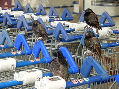 Those birds outside Tesco... (deltrems) Tags: cleveleys lancashire fylde coast birds supermarket trolleys tesco