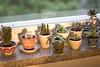 Windowsill, workspace (Soikkoratamo) Tags: succulent succulents cactus cacti window windowsill bythewindow sunlight naturallight canoneos7dmarkii 7dmarkii canonef50mmf14usm ef50mmf14usm 50mmf14 50mm f14
