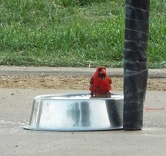 Intruder Alert! (Tricia H C) Tags: bird cardinal animal nature wildlife