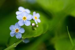 Flower (ryles 0_0) Tags: green blue light birnam dark flower closeup tay petal inverbraan braan river bud lilac grass droplet water