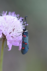 Zygaena lavandulae (esta_ahi) Tags: fontrubí flor flora flores silvestres polilla mariposilla moth lepidoptera insectos fauna zygaena lavandulae zygaenalavandulae zygaenidae penedès barcelona spain españa испания