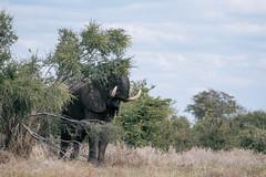 Elephant (knipslog.de) Tags: botswana botsuana safari adventure wildlife wild animals selfdrivesafari