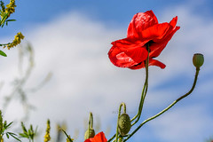 DSC_0086 - Summer poppy (SWJuk) Tags: swjuk uk unitedkingdom gb britain england lancashire burnley home 2017 jul2017 summer poppy wasteground poppies bluesky clouds nikon d7100 nikond7100 nikkor60mm closeup rawnef lightroom