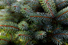 Blue Spruce (Jay Janssen) Tags: color nature macro tree branch wood conifer pine evergreen blue spruce fir needle coniferous wisconsin