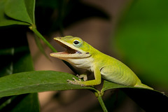 Young Green Anole (heeeerod) Tags: anolis carolinsis anole lizard reptile serpent dragon dinosaur monster d750 nikon nikkor macro micro closeup 105mm green