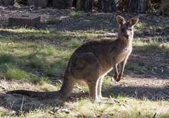 I'm watching you too! (OzzRod) Tags: pentax k1 sigma70200mmf28 animal kangaroo easterngreykangaroo male grazing barraggabay nsw