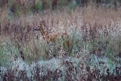 Sauvageon...en jachère ! (rocailles) Tags: chevreuil roedeer ngc wildlife brocard roe
