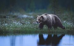 In Wilderness at Midnight (PasiKaunisto) Tags: bear karhu brown wildlife wildlifephotography wilderness midnight summer bog swamp pond night finland nature naturephotography forest