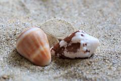 Macro Monday - Topic - Three (norasphotos4u) Tags: social canonef100mmf28lisusmmacro macromonday beach macro canon6d ©noraleonard seashells three 100xthe2017edition 100x2017 image53100