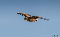Havørn-8484 (jarud) Tags: 2017 eagle fugl havørn naturopplevelser norge norway smøla whitetailed ørn