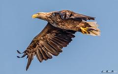 Havørn--3 (jarud) Tags: 2017 eagle fugl havørn naturopplevelser norge norway smøla whitetailed ørn