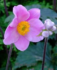 Japanese Anemone (David Warrell) Tags: fujixe2 fujixf100400mmf4556rlmoiswr inthegarden closeup anemone gardenflower florafauna uk northamptionshireuk