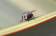 Fly Macro (najamulasre) Tags: fly macro closeup canon g1x raynox dcr250
