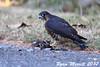 Merlin (rjm284) Tags: birds birding wa washington black merlin rjm284 seattle broadview kingcounty falcocolumbarius