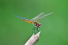Macrodiplax cora - Female (sreejithkallethu) Tags: macrodiplaxcorafemale macrodiplaxcora പൊഴിത്തുമ്പി coastalgliderfemale dragonfliesofkerala dragonfly polachira kollam kerala