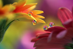 I can't stop making drops!! (Marilena Fattore) Tags: macro canon 6d tamron 90mm colors water drops droplet fantasy nature closeup focus petals floralart reflection bokeh daisy gerbera garden flower flora flores macrophotography onlyflowers yellow pink