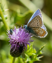 0087 (206) (Zana Benson) Tags: commonbluebutterfly nationaltrust smallhytheplace