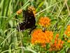 Spicebush Swallowtail (pthompson108) Tags: butterflies papiliotroilus spicebushswallowtail newhope pa asclepiastuberosa butterflyweed flowersplants