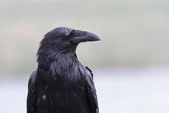 Common raven (Corvus corax) (TG23-Birding in a Box) Tags: raven corvuscorax grandteton wyoming commonraven jackson jacksonhole