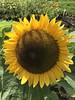 Happy face (*Penne*Pillswigger*) Tags: sunflower fullbloom sunshine