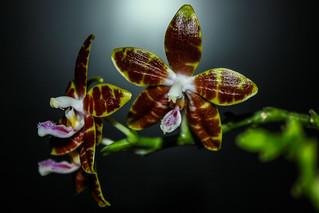 Phalaenopsis venosa x speciosa