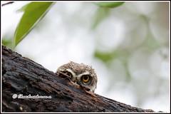 7018 - watching (chandrasekaran a 40 lakhs views Thanks to all) Tags: spottedowlet owlet birds nature india chennai canoneos760d tamronsp150600mmg2