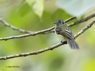 Slaty-capped Flycatcher (Leptopogon superciliaris)