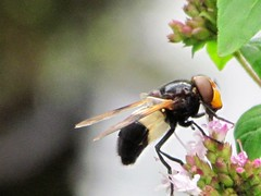 Mimic bee... Pellucid Fly - Volucella pellucens (johnpaddy22) Tags: mimic bee insect flying creature buzzing colourful animal unusual fly that looks like pellucidfly hoverfly volucellapellucens