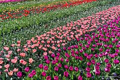 2017-04 Tulpen in overvloed in de Tulpenhof - Lisse/NL (About Pixels) Tags: 0409 2017 aboutpixels holland keukenhof lenteseizoen lisse mnd04 nikond7200 nl nederland netherlands nikon springseason zuidholland acre akker april bloem bloemenpark bol bolgewas bulb collecties fleur flora flower geografie geography landscape landschap nature natuur plant tulip tulips tulp tulpen