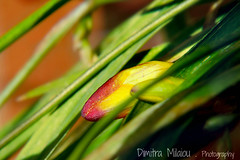 life ...between lines ✿ (dimitra_milaiou) Tags: nature life flower bud greece love green red yellow color colour lines bokeh nikon photography pure planet day world earth d d7100 7100 still macro close up closeup moments nice beautiful between milaiou dimitra