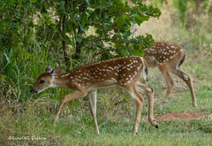 Twins (Lindell Dillon) Tags: fawns twins deer whitetails wildlife nature oklahoma lindelldillon